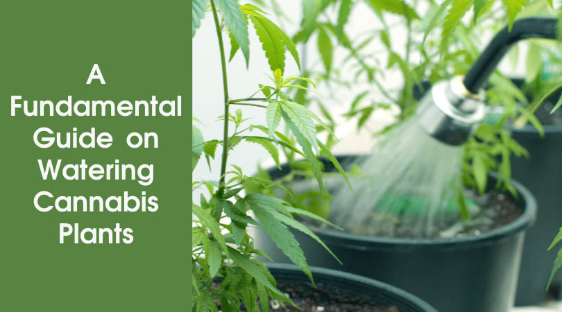 A Fundamental Guide on Watering Cannabis Plants Cover Photo