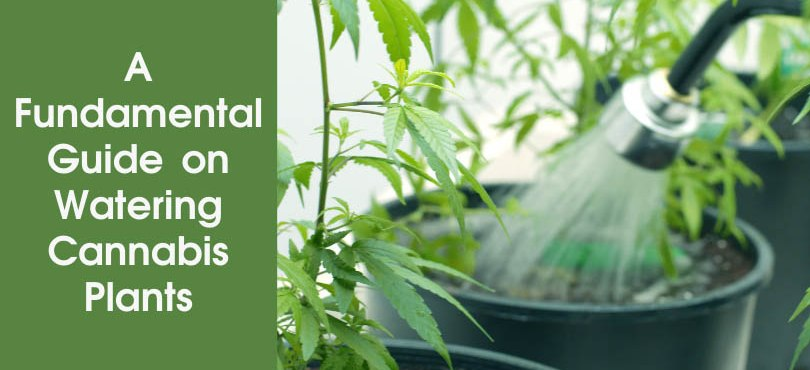 A Fundamental Guide on Watering Cannabis Plants Featured Image