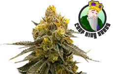ACDC Feminized Seeds Crop King Seeds