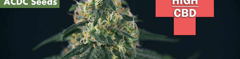 ACDC Seeds Featured Image
