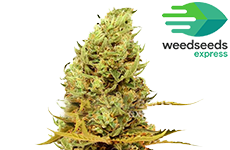 Acapulco Gold Feminized Seeds Weedseedsexpress