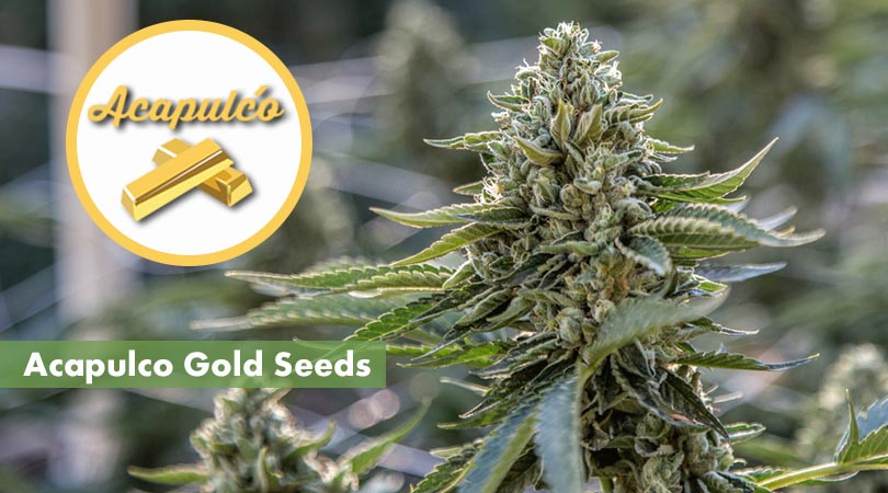 Acapulco Gold Seeds Main Photo