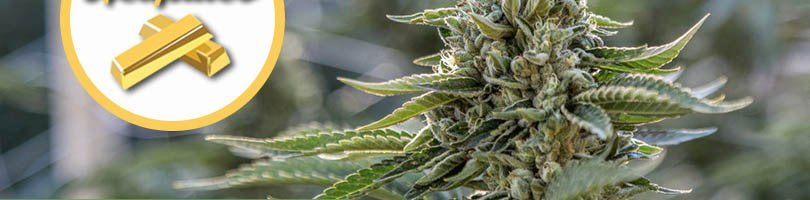 Acapulco Gold Seeds Featured Image