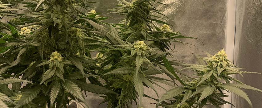 Acapulco Gold Seeds Strain Description