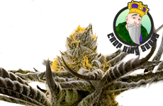 Afghan Kush Feminized Seeds Crop King Seeds