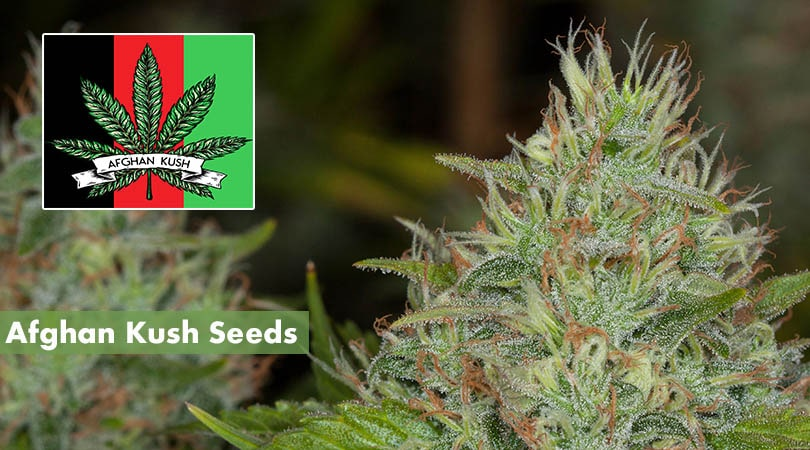 Afghan Kush Seeds Cover Photo