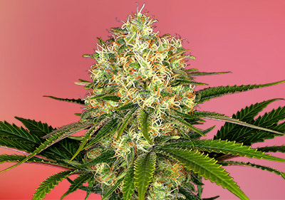 Afghani Best Landrace Cannabis Seeds