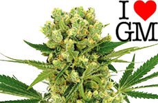 Amnesia Haze Feminized Seeds ILGM