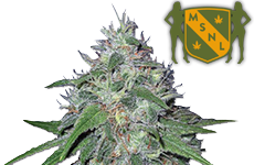 Amnesia Haze Feminized Seeds MSNL