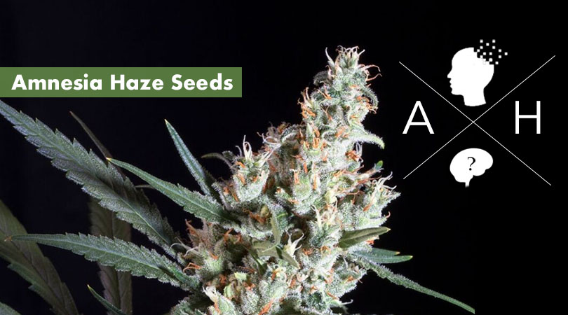 Amnesia Haze Seeds Main Photo