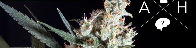 Amnesia Haze Seeds Featured Image