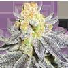 Animal Cookies Autoflower Seeds