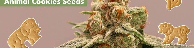 Animal Cookies Seeds Featured Image