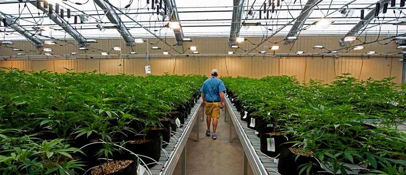 Arkansas Medical Marijuana Crop