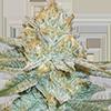 Auto AK-47 Cannabis Seeds
