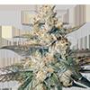 Auto Berry Feminized Cannabis Seeds