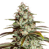 Auto Girl Scout Cookies Cannabis Seeds MSNL