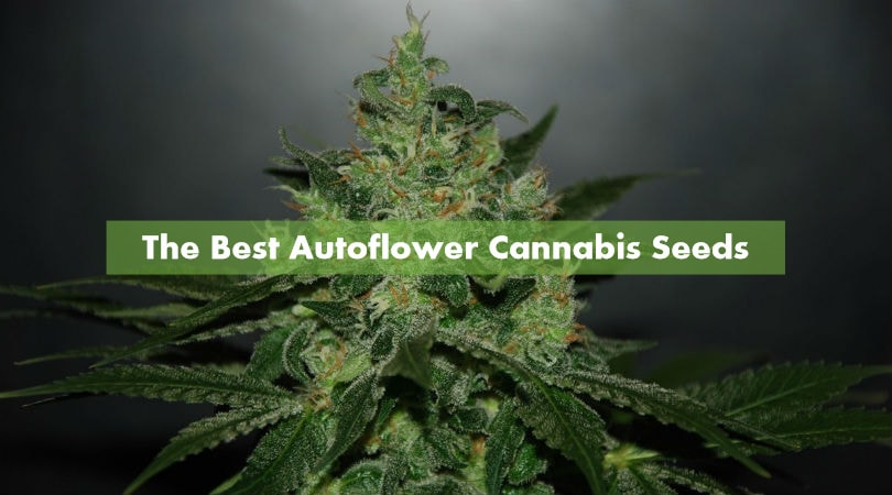 The Best Autoflower Cannabis Seeds