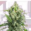 Banana Kush Autoflower Cannabis Seeds