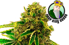 Banana Kush Feminized Seeds Crop King Seeds