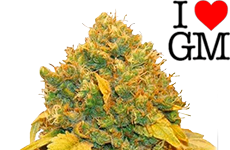 Banana Kush Feminized Seeds ILGM