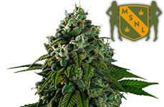 Banana Kush Feminized Seeds MSNL
