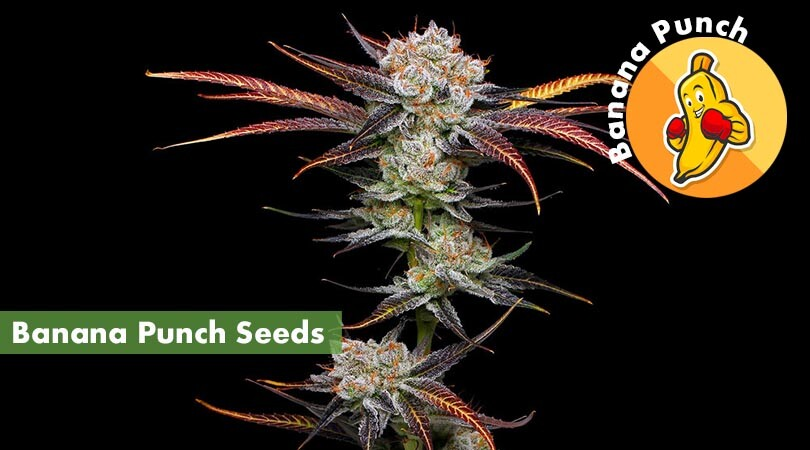 Banana Punch Seeds Cover Photo
