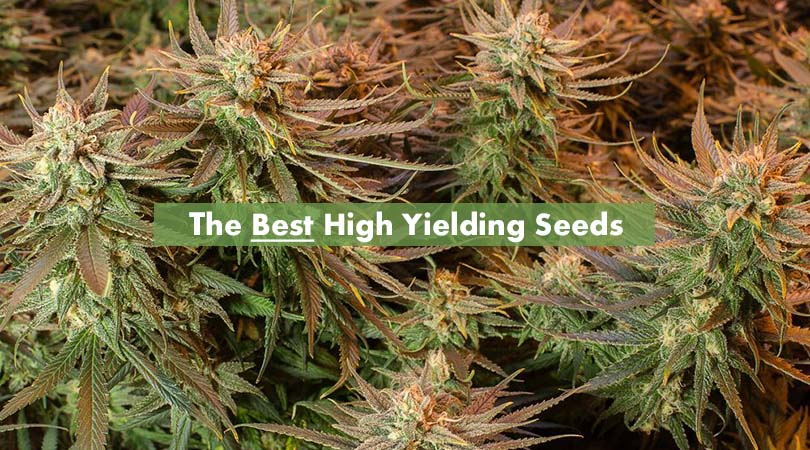 Best High Yielding Seeds Cover Photo