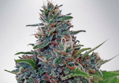Blue Amnesia Autoflower Cannabis Seeds