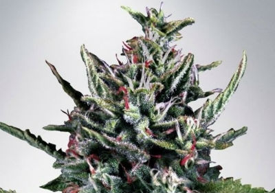 Silver Bullet Autoflower Cannabis Seeds