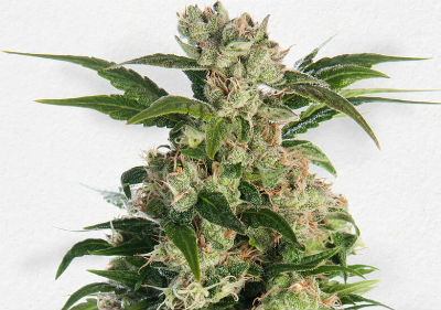 Train Wreck Autoflower Cannabis Seeds