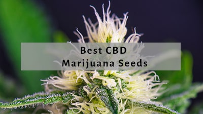 Best CBD Seeds
