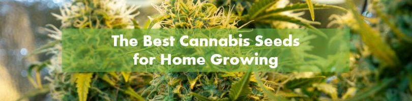 The Best Cannabis Seeds for Home Growing