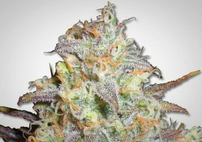 Chocolope Feminized Cannabis Seeds