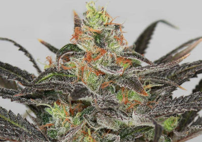 Golden Nugget Feminized Seeds