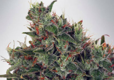 Ultra White Amnesia Feminized Seeds