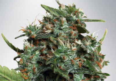 Autopilot Feminized Cannabis Seeds