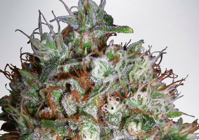 Big Bud XXL Feminized Cannabis Seeds