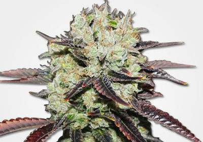 Cheap Cannabis Seeds - Black Domina Feminized Cannabis Seeds