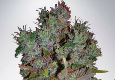 Autoflower Feminized Blueberry Domina Seeds