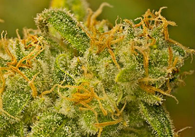 Kaya Gold Feminized Cannabis Seeds