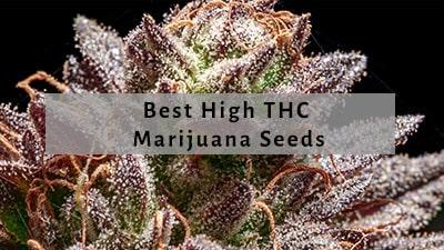 Best THC Seeds