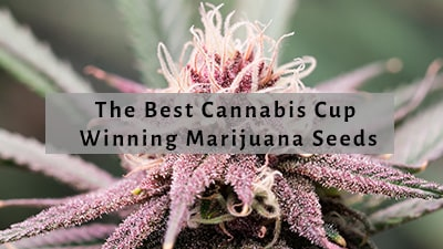 Best High Times Cannabis Cup Winning Seeds