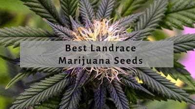 Best Landrace Cannabis Seeds