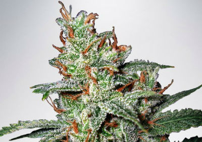 Carnival Feminized Cannabis Seeds