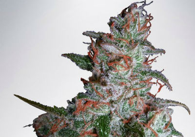 Northern Lights Feminized Cannabis Seeds