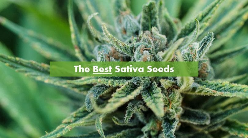 The Best Sativa Seeds