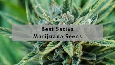 Best Sativa Seeds
