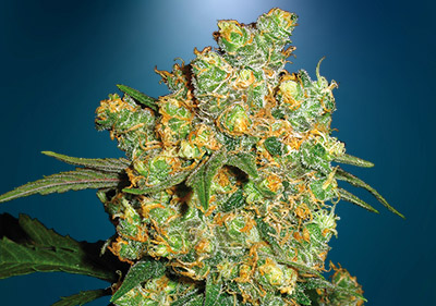 Big Bud High Yield Seeds