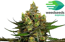 Black Jack Feminized Seeds Weedseedsexpress